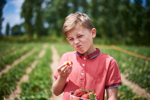 Starwberry Picking